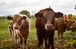 VIDEO: Naučnici treniraju krave da koriste