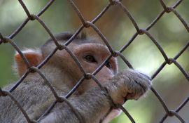 Naučnici se žale: Nestašica majmuna na kojima bismo testirali vakcinu protiv korone