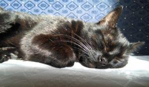 U Belgiji prvi slučaj da je vlasnik zarazio mačku virusom korona
