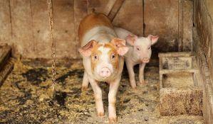 Na gubitku uzgajivači svinja i kupci, nakupci profitiraju
