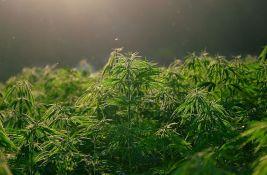 Uhapšeni dok su zalivali zasad marihuane