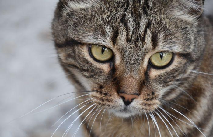 Danska posle vizona ubija i mačke zbog korone