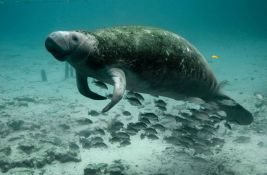 Izumiru morske krave na Floridi