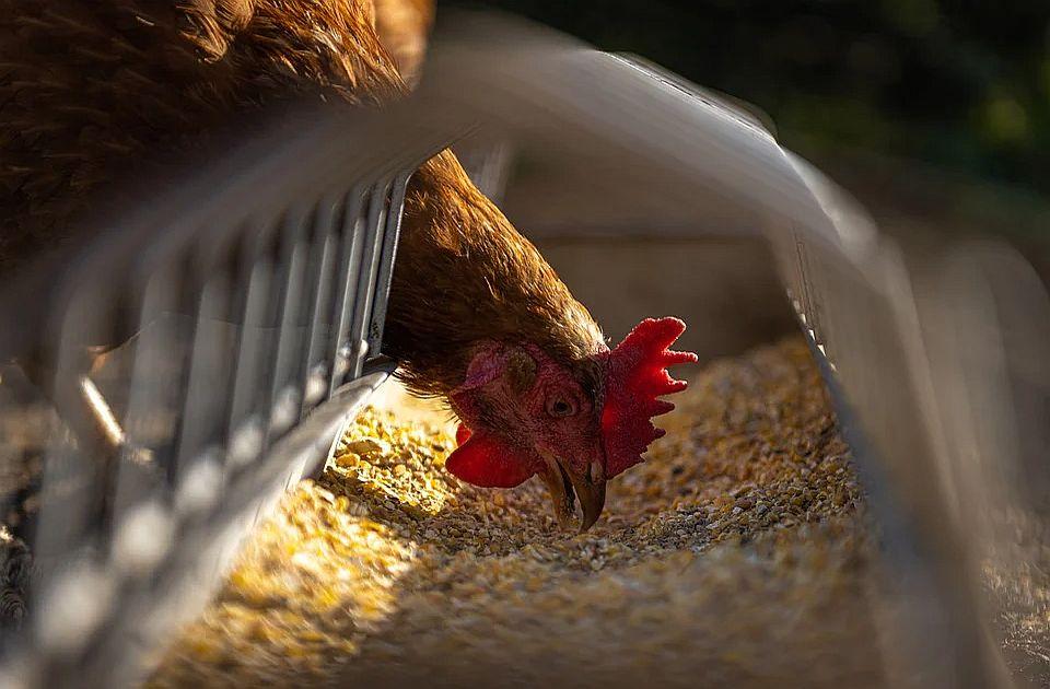 Uginula trećina kokošaka u Crnoj Gori zbog nestanka struje