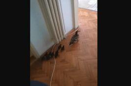 VIDEO Novosađanina u sobi dočekalo jato pačića, posle jurnjave po stanu vraćeni u prirodno stanište