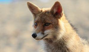 Lisica se popela do četvrtog sprata zgrade u mestu kod Niša