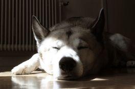 VIDEO: Pas čuvar mirno spavao u toku