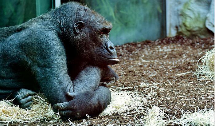 Gorile u zoo vrtu u San Dijegu se oporavljaju od kalifornijskog soja kovida, biće vakcinisane