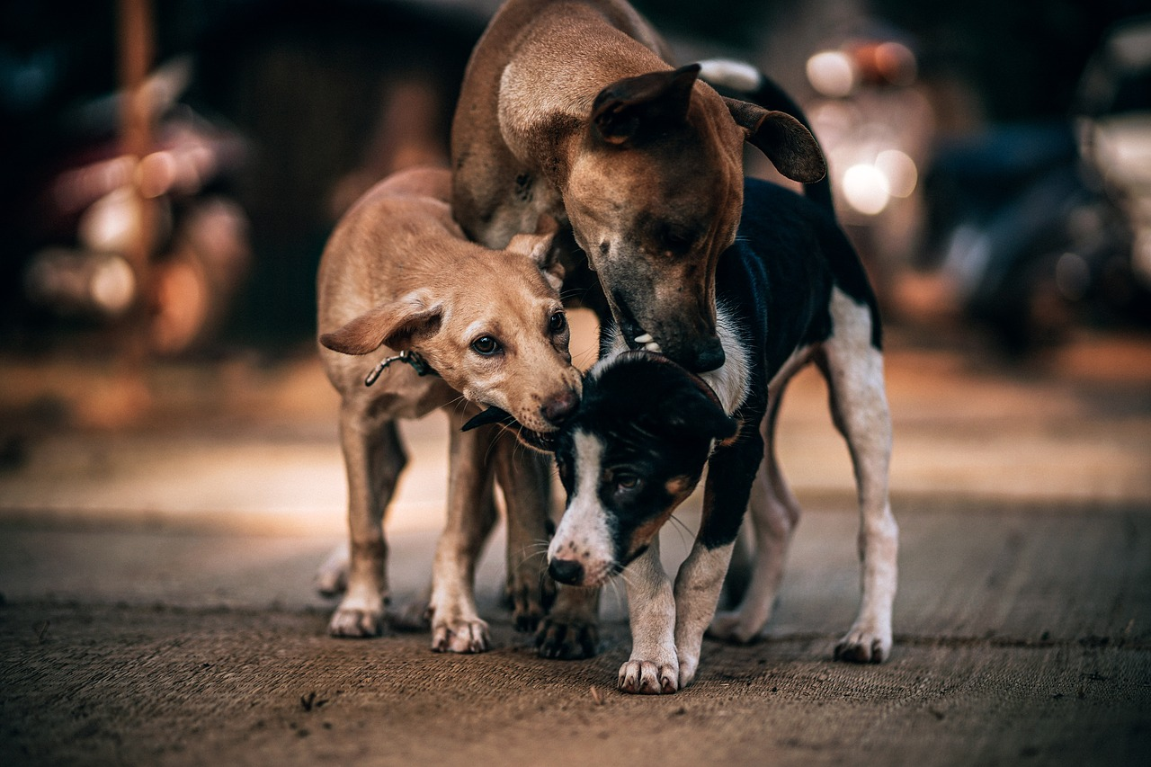Psi lutalice nestaju u Sremskim Karlovcima: Ne zna se ni ko ih hvata, ni gde završavaju