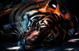 Meštani sela traktorom do smrti gazili tigra