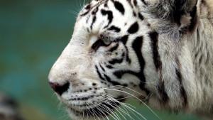 Zoo vrt u Japanu: Retki beli tigar ubio čuvara