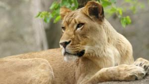 Zoo vrt u Indijanopolisu: Lavica ubila oca svojih mladunaca