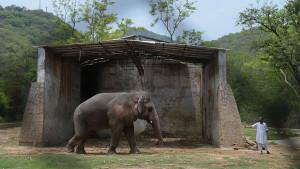 Životinje i priroda: Kavan, najusamljeniji slon na svetu, konačno putuje na slobodu