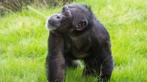 Korona virus: Majmunima u zoološkom vrtu nedostaje druženje s ljudima