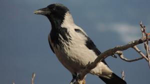 Ptice i ljudi: Šta da radite ako vas napadnu vrane