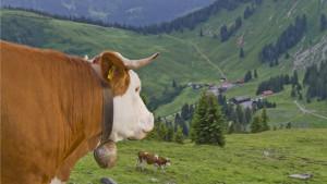 Zvona za krave - razlog za tužbu u malom nemačkom gradu