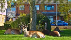 Engleska i životinje: Kad jeleni dođu na doručak - u vašu ulicu