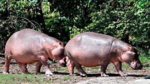 Životinje i životna sredina: Kolumbija steriliše nilske konje Pabla Eskobara