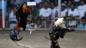 Filipini, životinje i kriminal: Policajku koja je otkrila ilegalne borbe petlova - ubio petao