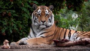 Tigrica pred posetiocima ubila radnicu zoološkog vrta