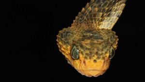 U fotografijama: Oči u oči sa smrtonosnim zmijama Konga