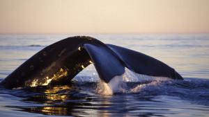 Kriza severnoatlantskog arktičkog kita: ljudi rizikuju živote da bi ih spasili