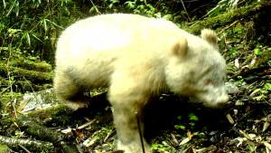 Albino panda primećena u Kini