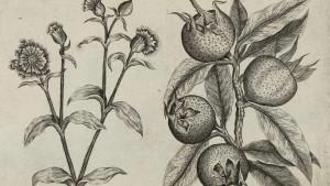Hrana i istorija: Mušmule - zaboravljeno srednjovekovno voće nepristojnog imena