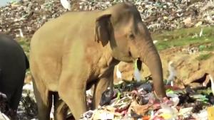 Životinje i plastika: Šri Lanka kopa rov kako bi slonove držala podalje od deponije sa đubretom