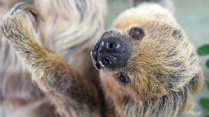 Najstariji lenjivac živi u Nemačkoj