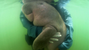 Čuvena morska krava sa Tajlanda izgubila bitku sa plastikom