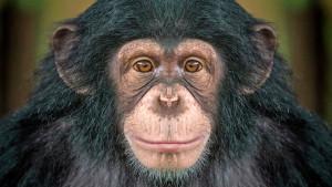 Šimpanze i ljudi: Odlazak u bioskop je društveni fenomen
