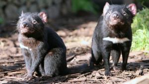 Australija i životinje: Borba za opstanak - kako je tasmanijski đavo zbrisao koloniju patuljastih pingvina