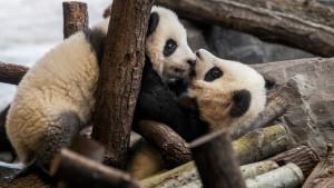 Seks, tuče i znoj - prvi snimak parenja pandi van zoološkog vrta