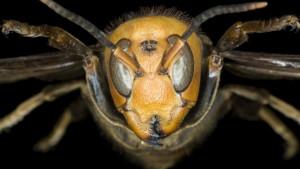 Životinje i insekti: U Americi pronađeno i uništeno prvo gnezdo azijskih džinovskih stršljena-ubica
