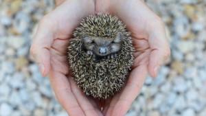 Životinje kružnog oblika: Kako loptasta građa pomaže u preživljavanju