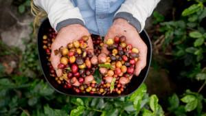 Kafa u opasnosti od izumiranja, smatraju naučnici