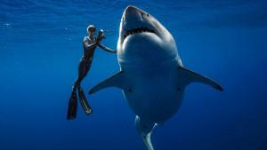 Havaji: Ronioci plivali sa jednom od najvećih belih ajkula