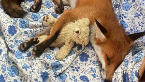 Životinje: Kako izgleda život jedne slepe lisice sa psom i jelenom