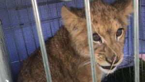 Trkač u Holandiji naleteo na kavez sa mladunčetom lava