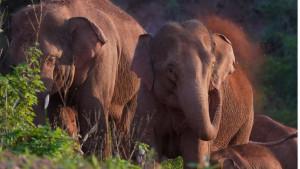 Životinje i Kina: Najduže putovanje slonova koje naučnici ne umeju da objasne