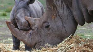 Naučnici u borbi protiv lovokradica - lažni rogovi nosoroga stižu na tržište