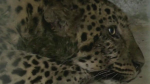 """Kina, životinje: Sedam i kusur dana dana potrage za """"ničijim"""