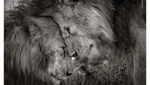 Kraljevi životinja pobedili na foto takmičenju