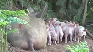 Životinje i zanimljivosti: Trudna svinja pobegla sa farme da se oprasi u šumi