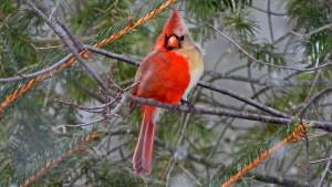 Životinje: Severni kardinal -