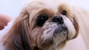 SAD: Uspavali zdravog psa da bi ga sahranili pored vlasnice