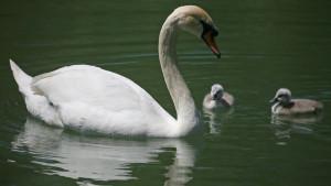 Američki gradić mora da proda labudove, poklon kraljice Elizabete, jer su se previše namnožili