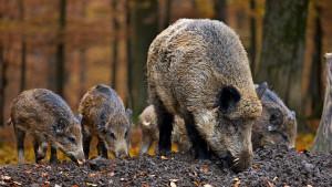 Životinje i Italija: Policija usmrtila celu porodicu veprova u dečjem parku u Rimu