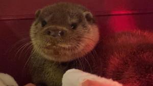 Engleska i životinje: Spašeno mladunče vidre koje je ostalo bez mame